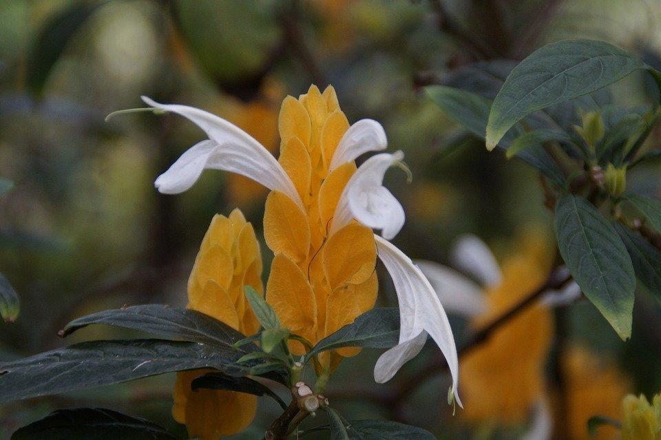 fiore di acanto